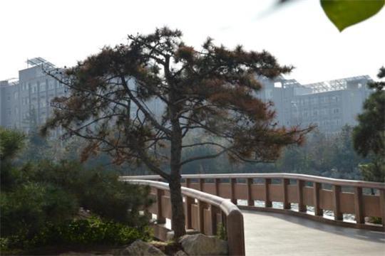 蓝翔的松树