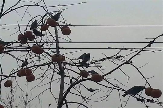 冬季蓝翔雀啄柿